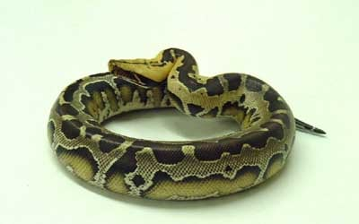 Pythons Snakes Without Fangs Nature S Wonderland